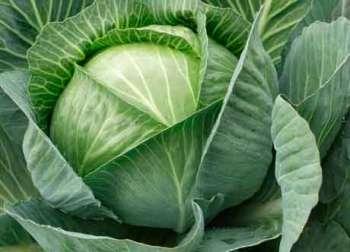 Выращивание капусты белокочанной и ее полезные свойства