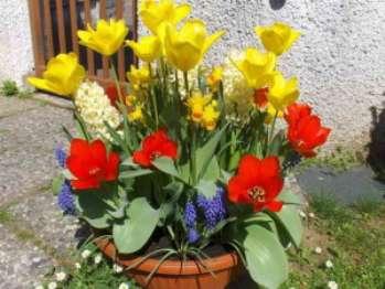 Как вырастить цветы мускари