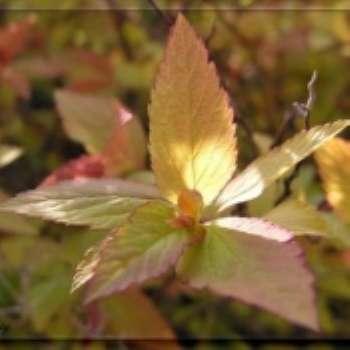 Спирея - царица садов