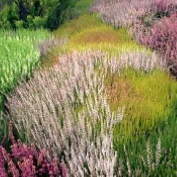 Создайте вересковый рай в саду