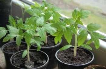 Способы_выращивание_рассады_помидоров