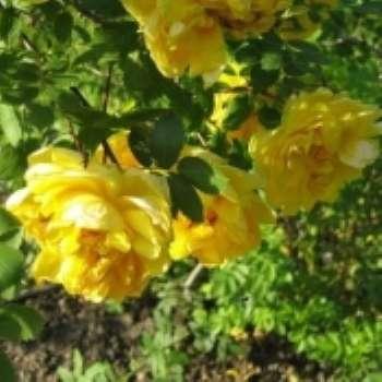 Укрощение дикой розы