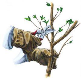 Как и когда проводить обрезку деревьев