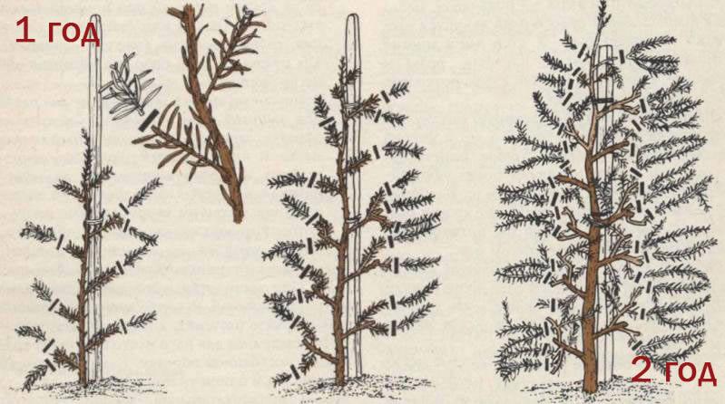 Обрезка изгороди из ели