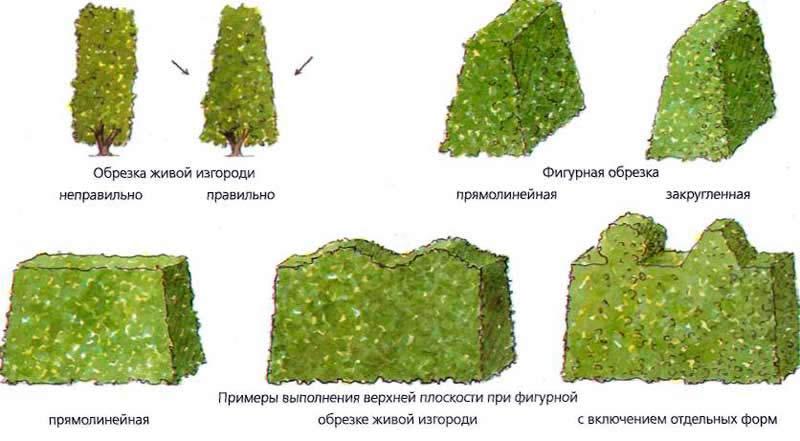 Варианты обрезки живой изгороди из ели